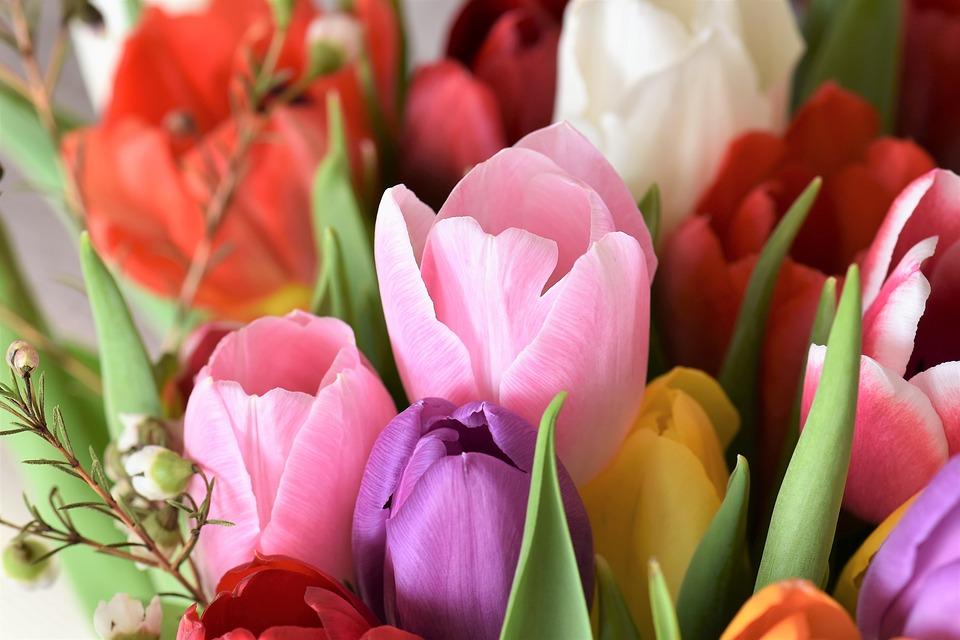 tulips-2091412_960_720.jpg