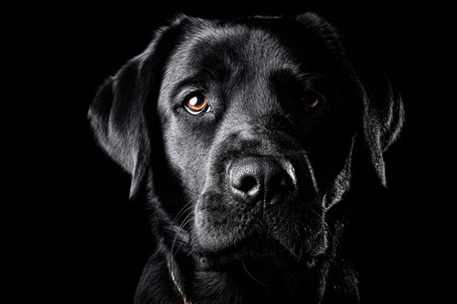 black-labrador-retriever-wallpaper-1.jpg