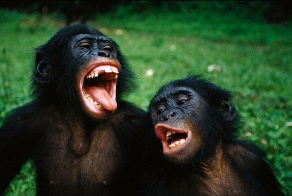 scimmie-bonobo-02.jpg