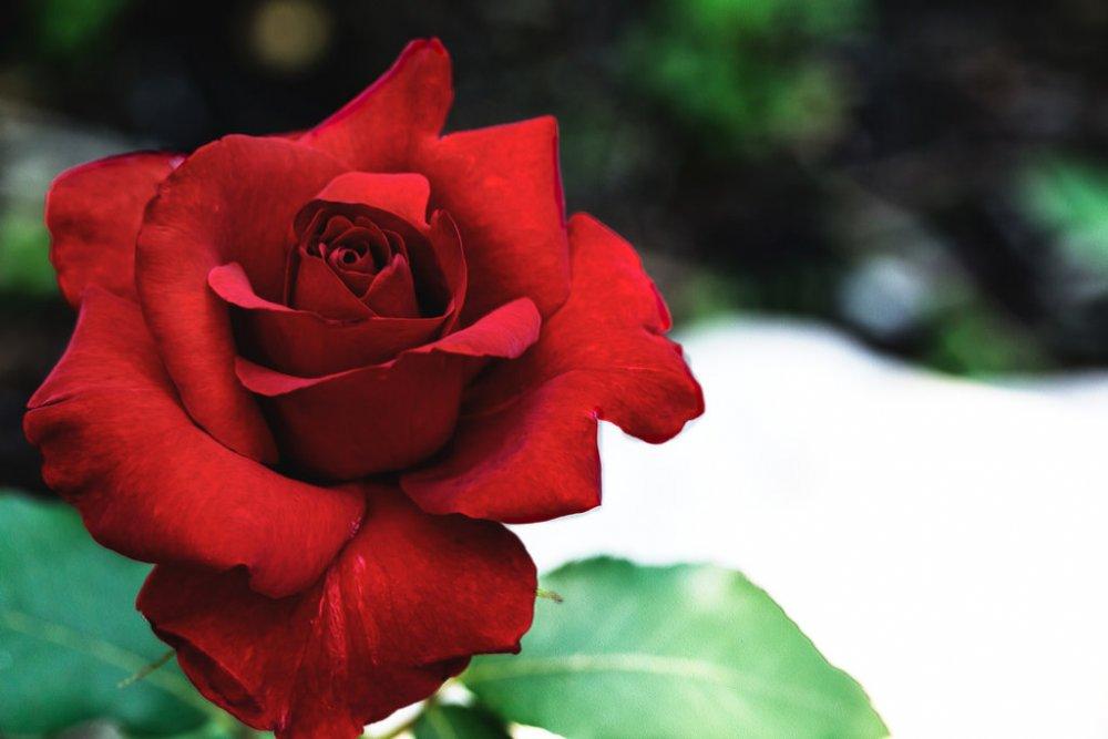 linguaggio-fiori-amore-conquistare-donna-rosa.jpg