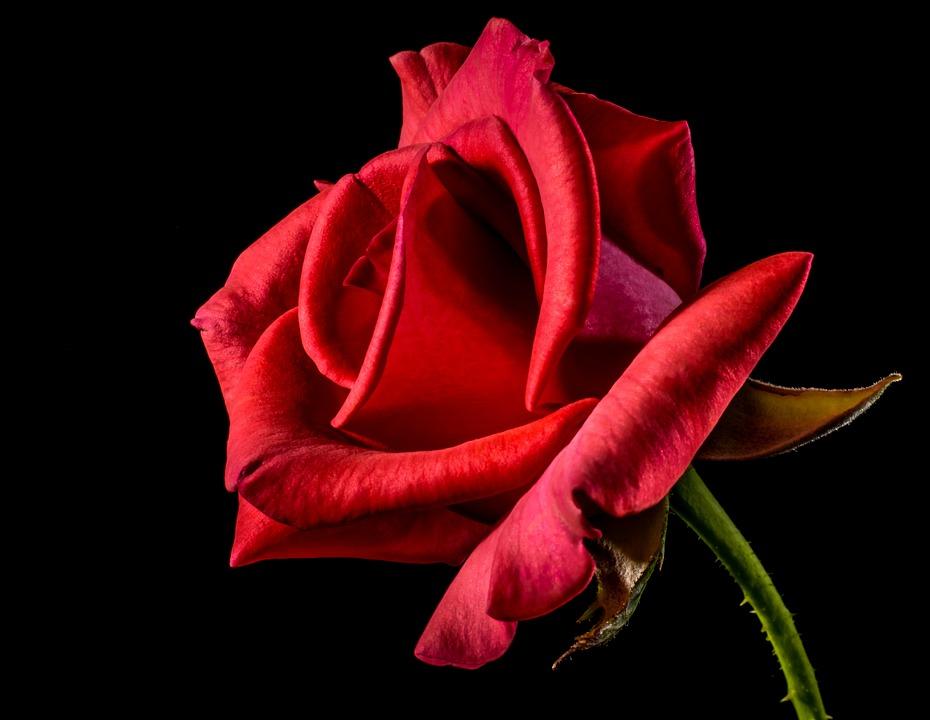 red-rose-320868_960_720.jpg
