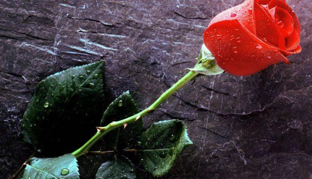 rosa-rossa-610x350.jpg