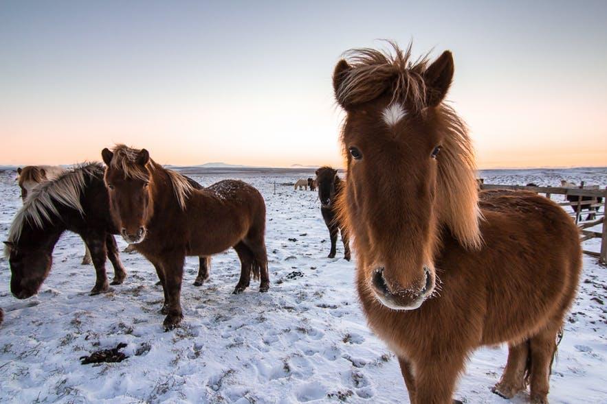 icelandic-horses-our-friends-1.jpg