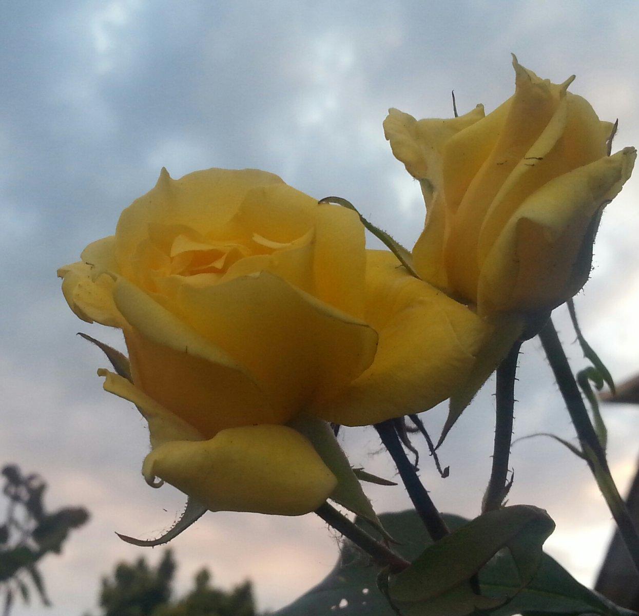Rosa gialla.jpg