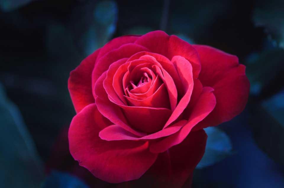rosa-rossa.jpg