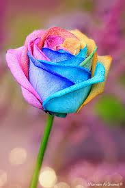 rosa-x-blog.jpg.51dd06d5ba08903f4e790a39f6388c23.jpg