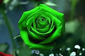 rosa.png.ac1ce78737c44d81818432df1eae1814.png