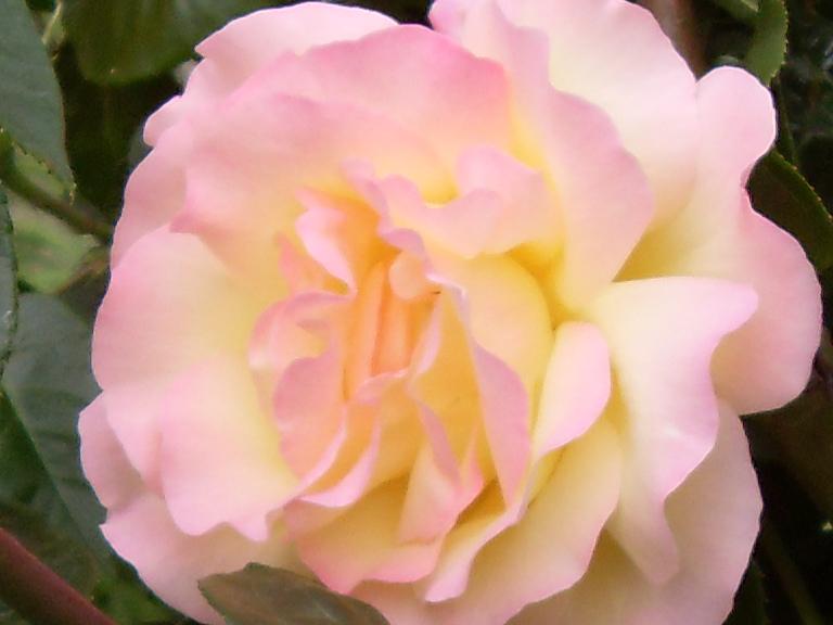aggiornamenti sulle talee rose e varie 099.JPG