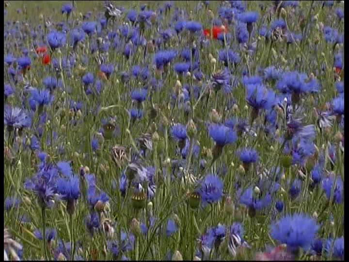 822210348-fiordaliso-rosolaccio-prato-di-fiori-fiore-selvatico.jpg