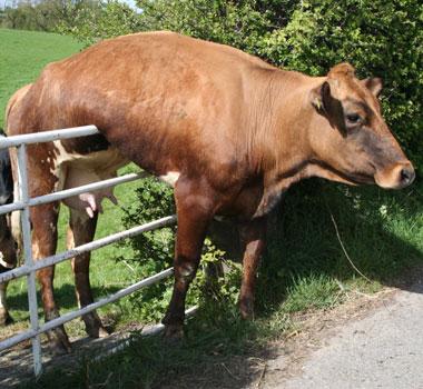 vacca.jpg