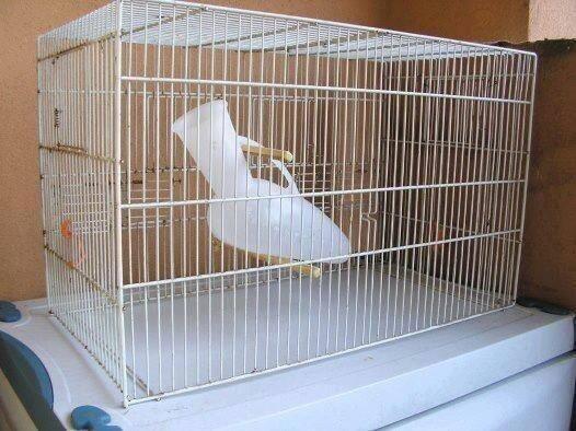 531-pappagallo-gabbia.jpg