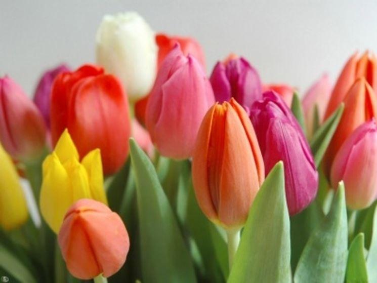 tulipani-olandesi_NG1.jpg