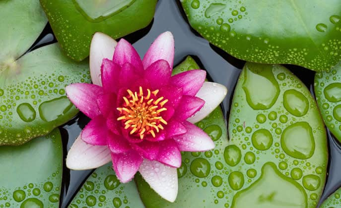 fiore-di-loto.jpg