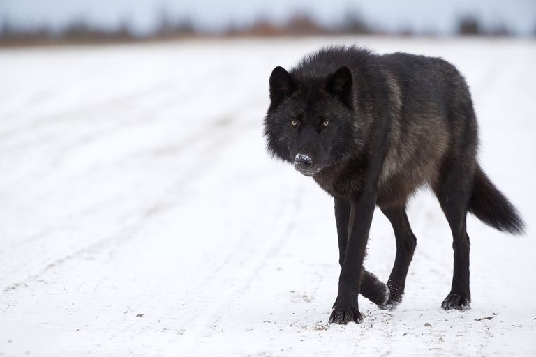 black-wolf-approaches-a-photographer-hudson-bay-949087536-5c44f0fa46e0fb000191455b.jpg