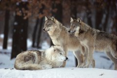 Lupi, animali maestosi