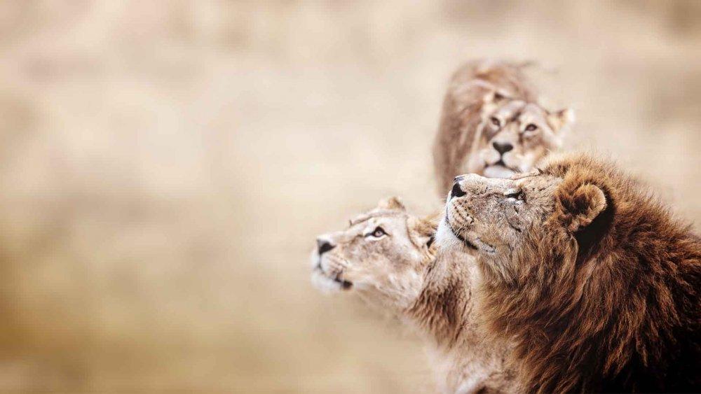 Three-lions-gazing-upwards.jpg
