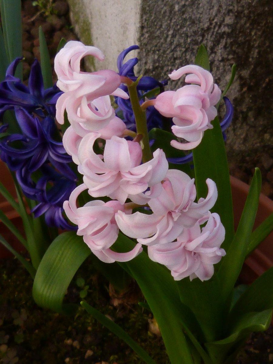 Giacinto rosa e viola