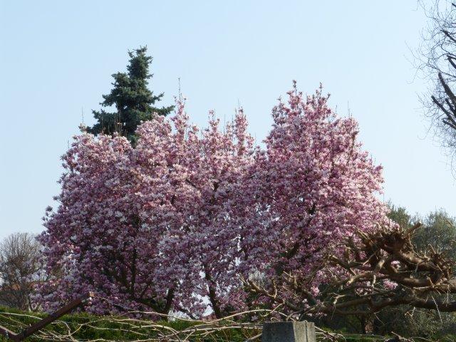 Fioritura di magnolia