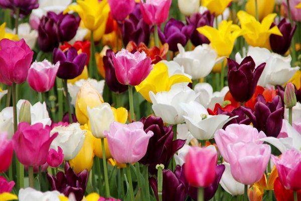piantare-tulipani-600x400.jpg