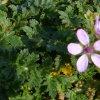 Fiorellini rosa