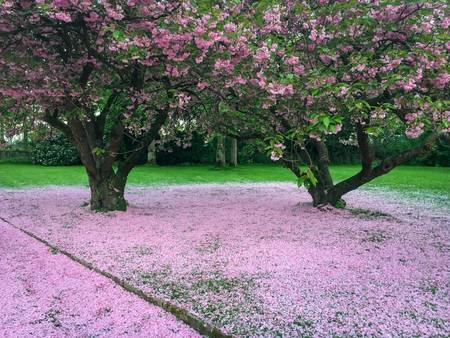 118152930-beautiful-huge-magnolia-tree-with-a-carpet-of-fallen-magnolia-petals-underneath-after-bloom-at-nordp.jpg