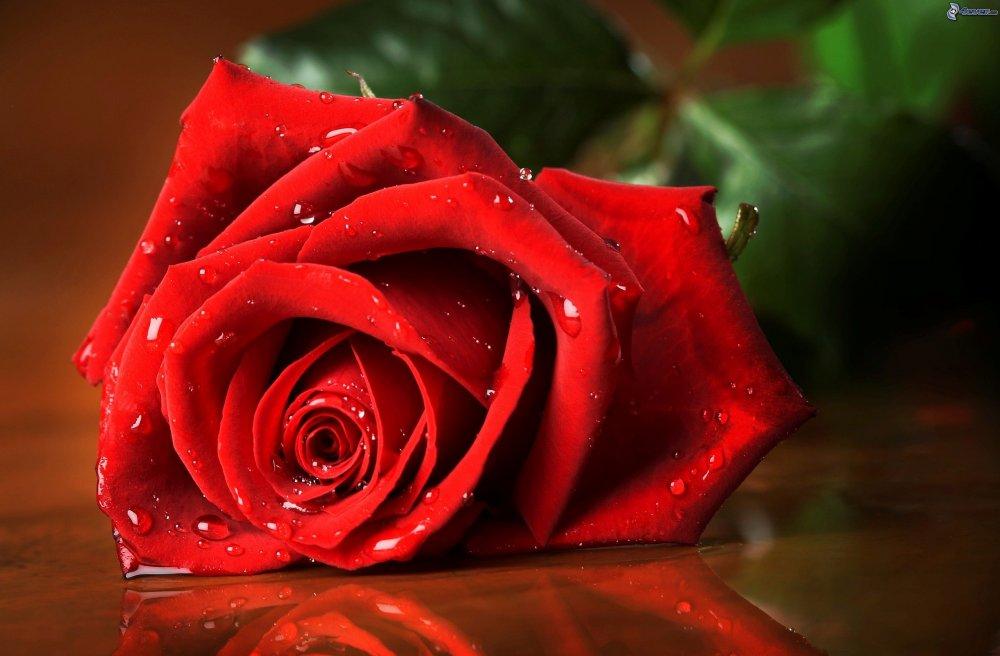 rosa-roja-rosa-en-rocio-202128.jpg