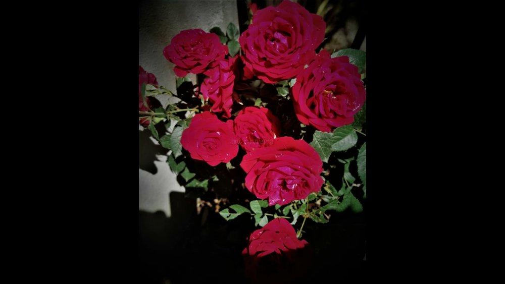 rosa.thumb.jpg.eceb6e405cf5485ee08e259d70522083.jpg