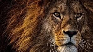 leone sguardo.jpg