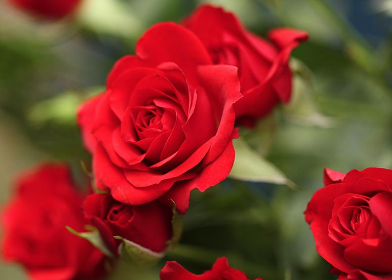 rosa c.jpg