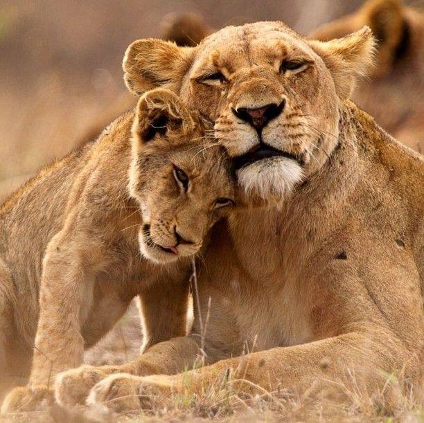 "greenMe on Instagram_ ""🦁 ❤️ ⠀ ⠀ ➡ segui @greenme_it ________⠀⠀⠀ #greenme #italia #italy #animali #leoni #lions #leone #lion #dolcezza #sweetness #tenerezza…"".jpg"