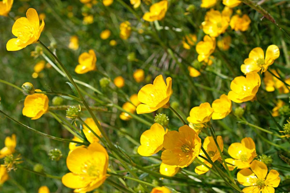 Buttercup-wild-flowers-flora-Marche-Italy-Nature.jpg