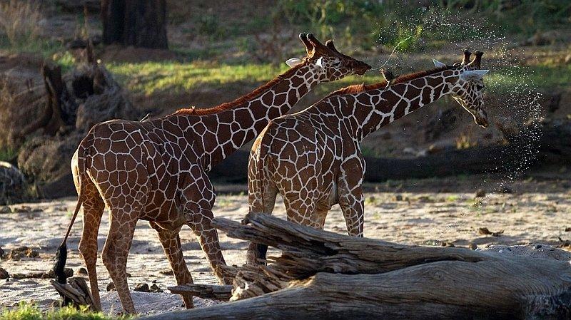 Giraffe reticolate