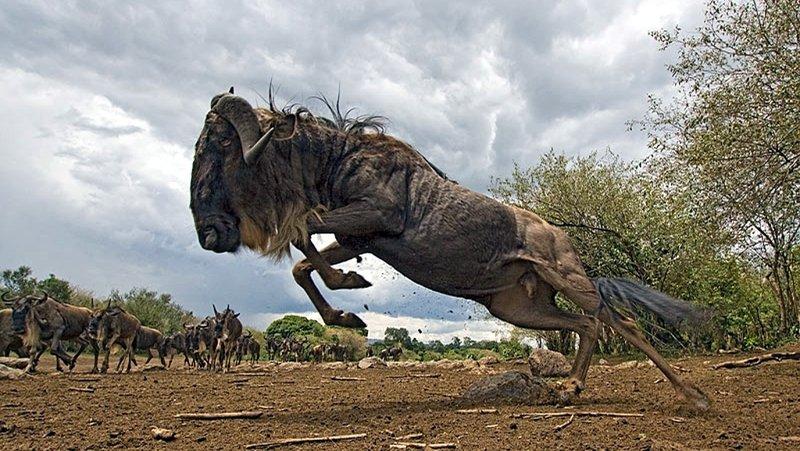 Gnu blu. Riserva Masai Mara