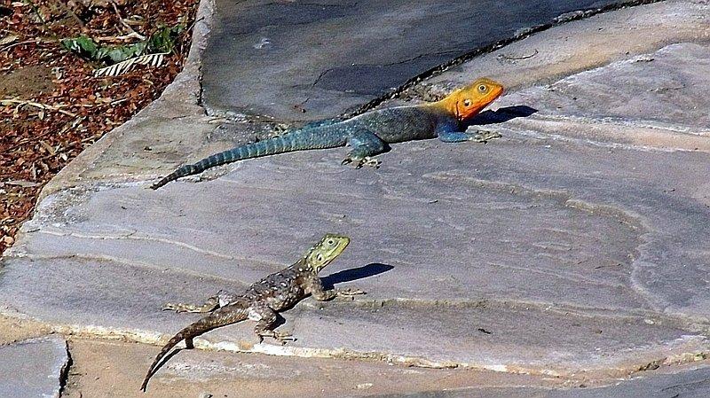 Agama roccia del Kenya