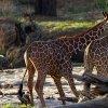 Kenya. Giraffe reticolate