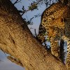 Kenya. Leopardo africano
