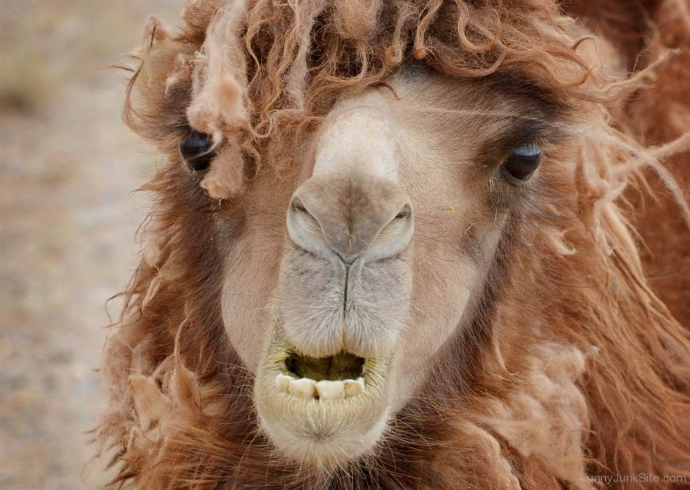 Funny-Camel-With-Long-Hair-Style (1).jpg