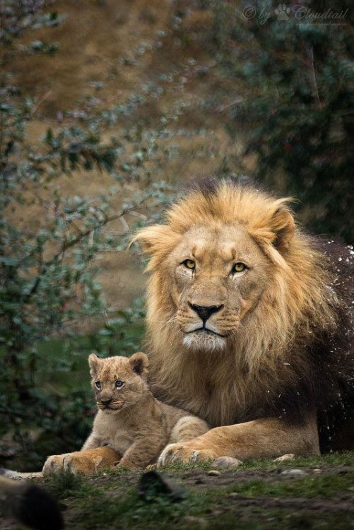 Father with one cub.jpg