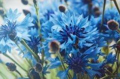 La vita comincia da qualche parte con il blu di un fiordaliso.