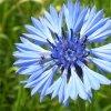 """""""La vita comincia da qualche parte con il blu di un fiordaliso"""""""