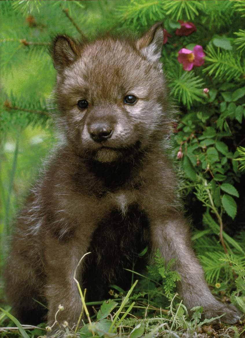 GrayWolf-15_Puppy-InForest.jpg