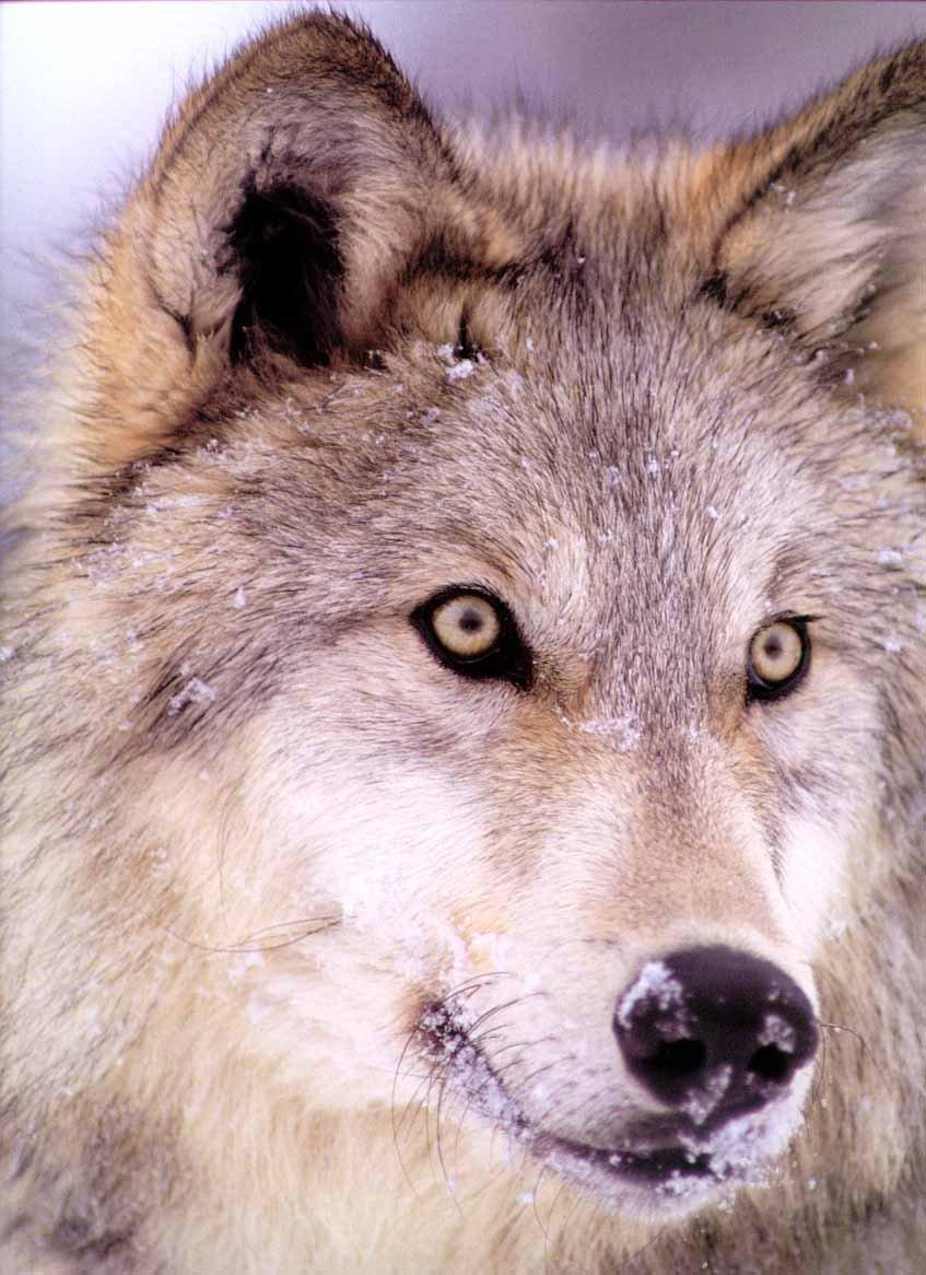 GrayWolf_Wolves105-FaceCloseup.jpg