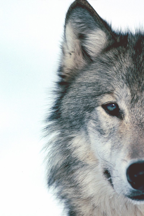 wolf-2.png