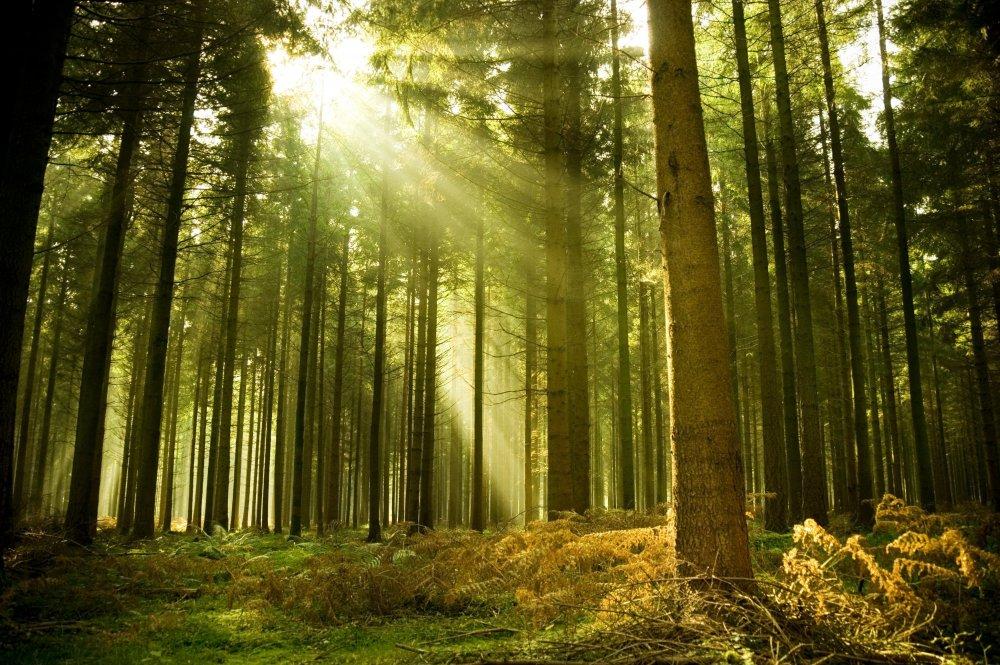 forest-tree-sun-ray-light-spruce.thumb.jpg.c6bbf038f6c7a8eab790dcf5661022c3.jpg